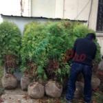 засаждане на дървета и храсти (2)