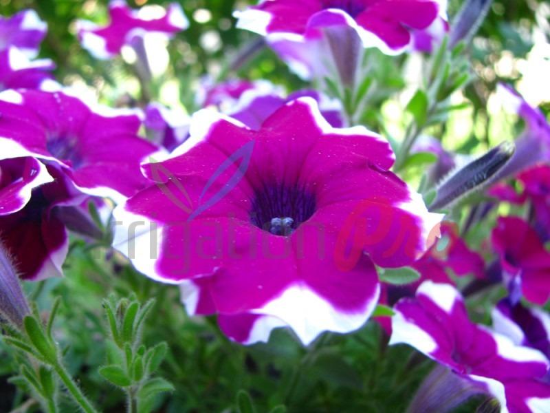 красиви цветя в сандъвета за балкон и градина