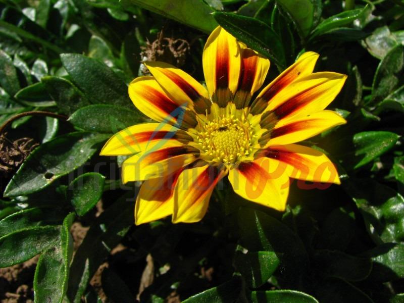 лятно цъфтящи цветя