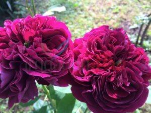 Розариум от щамбови рози в Медицинска академия