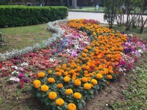 10500 лятноцъфтящи цветя в Медицинска академия