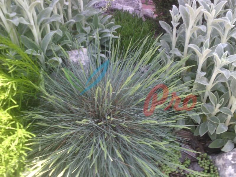 декоративни треви в двора и градината